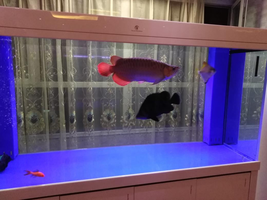 太原鱼饲料价格批发市场我在鱼邻申请试用奇彩龙鱼马印龙鱼增艳神灯 太原观赏鱼 太原龙鱼第2张