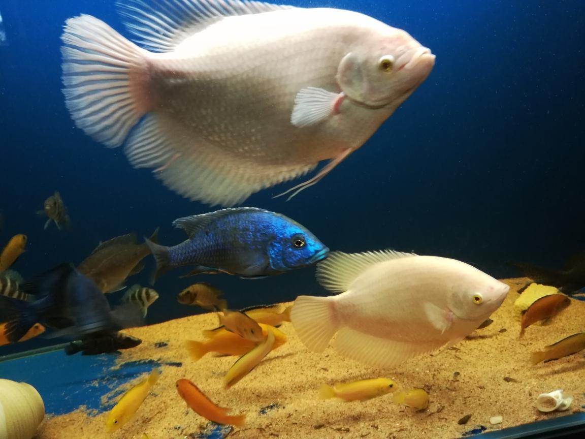 硝化细菌必备鹦鹉鱼 银川水族批发市场 银川龙鱼第3张