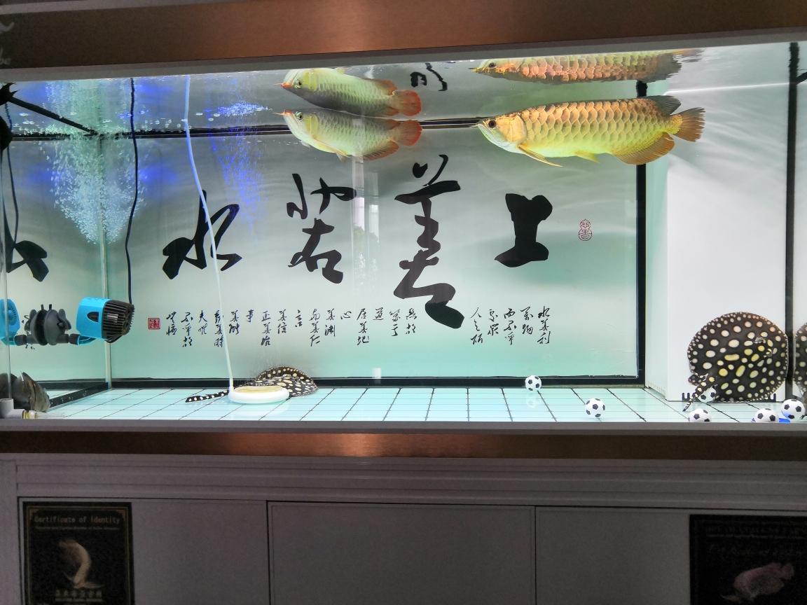 24K黄金条龙鱼 南京水族批发市场 南京龙鱼第5张