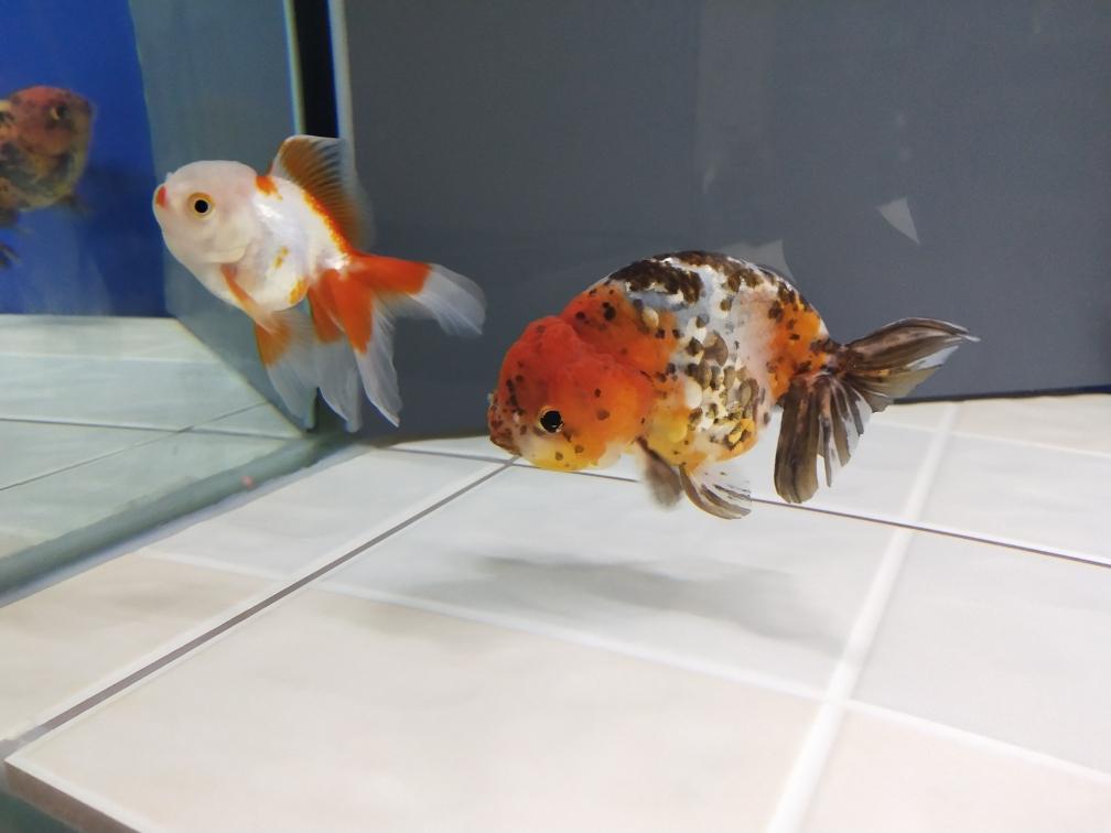 懂兰寿的看看金鱼 合肥观赏鱼 合肥龙鱼第2张