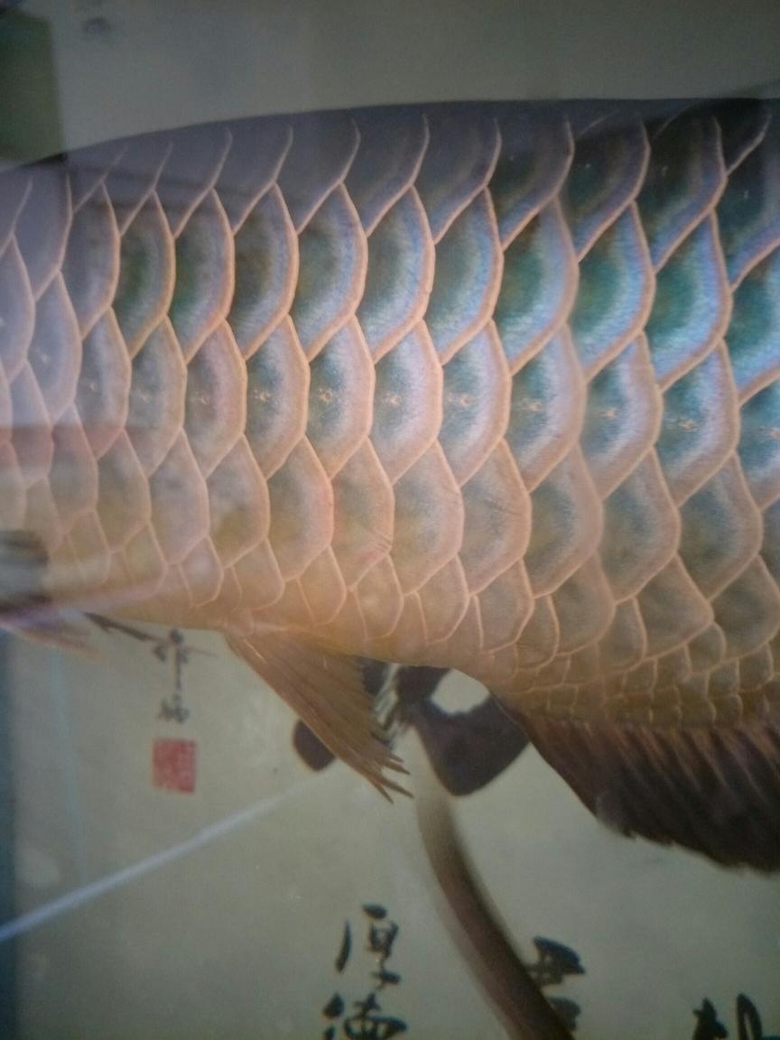 银川狗仔鲸(红尾猫)哪个店的最好这个算蓝底吧不过不够蓝 银川龙鱼论坛 银川龙鱼第4张