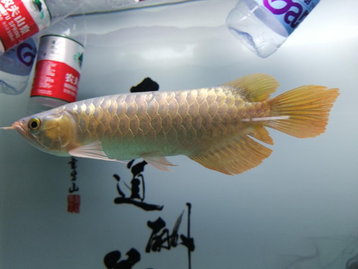 大神帮我看看这是什么品种的红龙谢过 合肥观赏鱼 合肥龙鱼第1张
