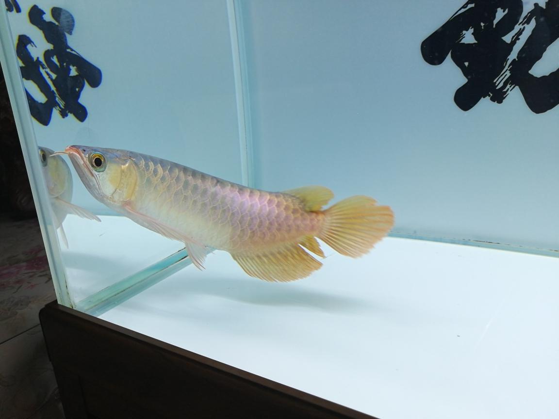 大神帮我看看这是什么品种的红龙谢过 合肥观赏鱼 合肥龙鱼第5张