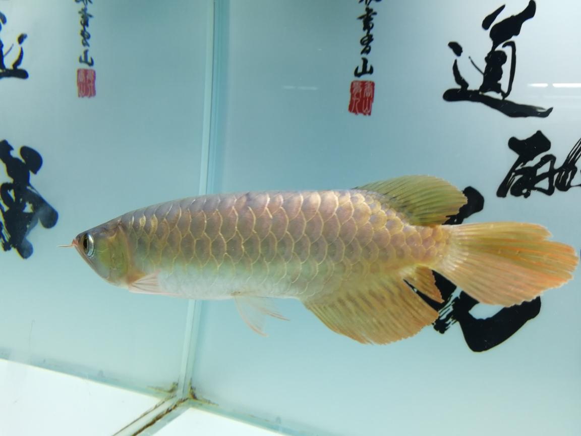 大神帮我看看这是什么品种的红龙谢过 合肥观赏鱼 合肥龙鱼第2张