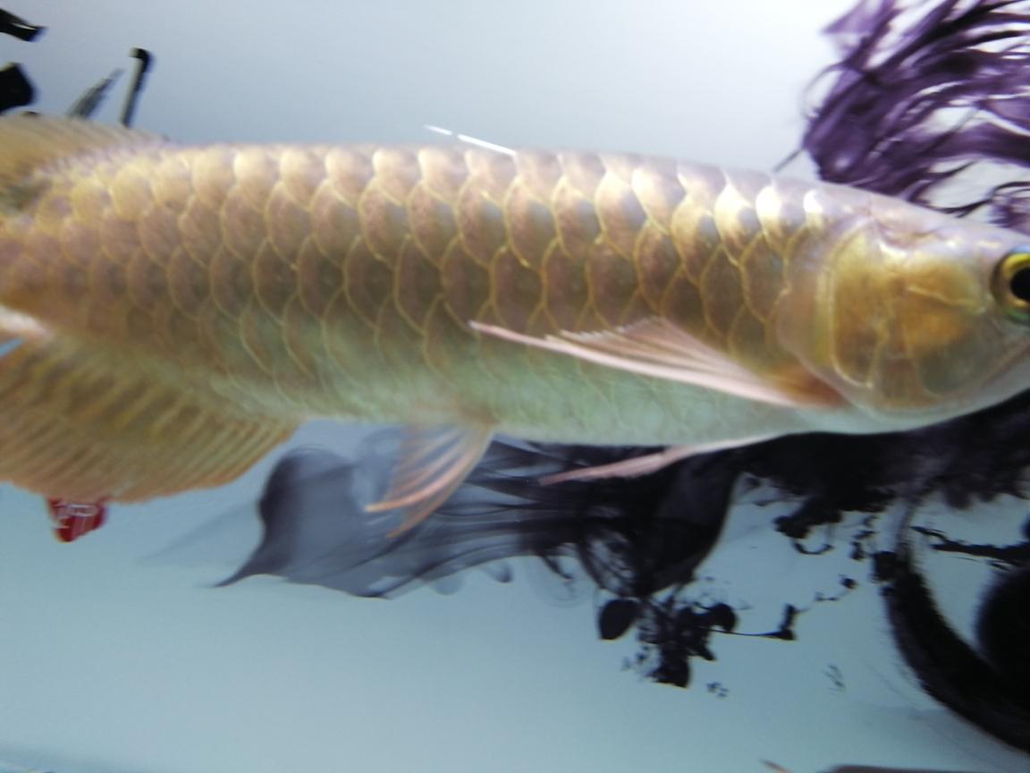 大神帮我看看这是什么品种的红龙谢过 合肥观赏鱼 合肥龙鱼第3张