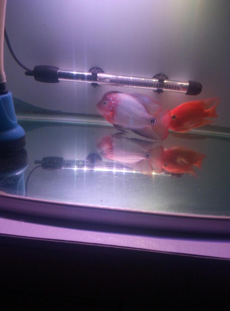 两只鱼快乐玩耍 昆明龙鱼论坛 昆明龙鱼第1张