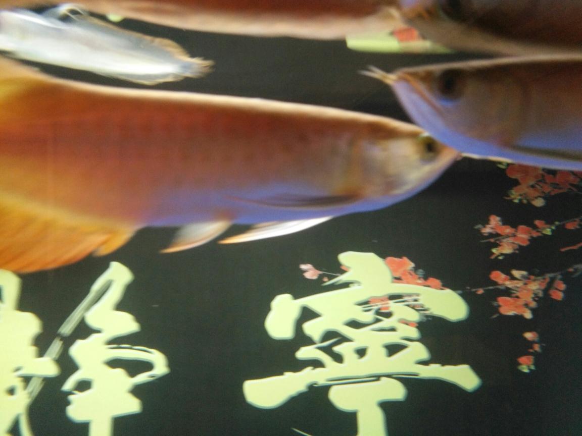 重新开始龙鱼 合肥龙鱼论坛 合肥龙鱼第7张