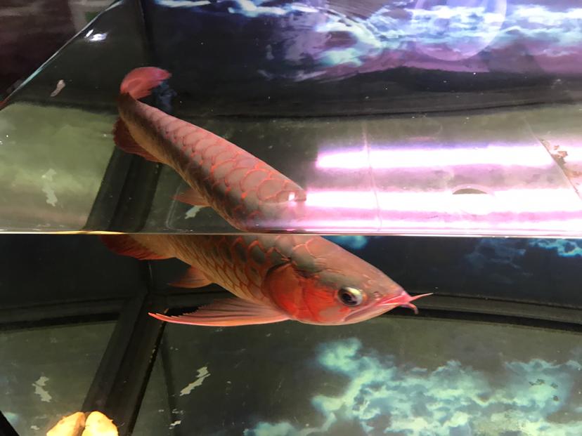 怎么让背红龙鱼 太原观赏鱼 太原龙鱼第2张