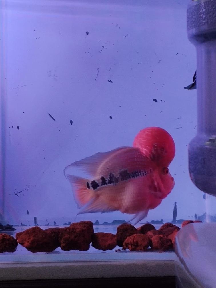 去年八月底买分小鱼精心伺候一年状态美 合肥观赏鱼 合肥龙鱼第6张