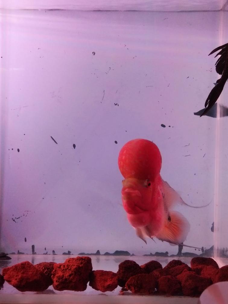 去年八月底买分小鱼精心伺候一年状态美 合肥观赏鱼 合肥龙鱼第3张