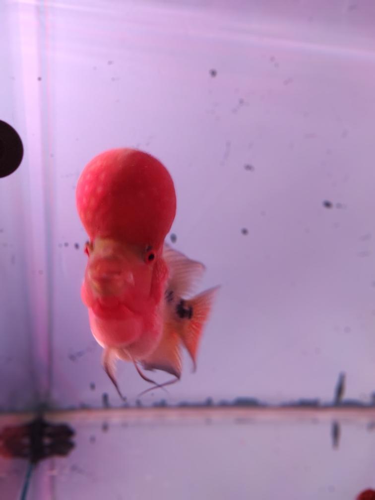 去年八月底买分小鱼精心伺候一年状态美 合肥观赏鱼 合肥龙鱼第9张