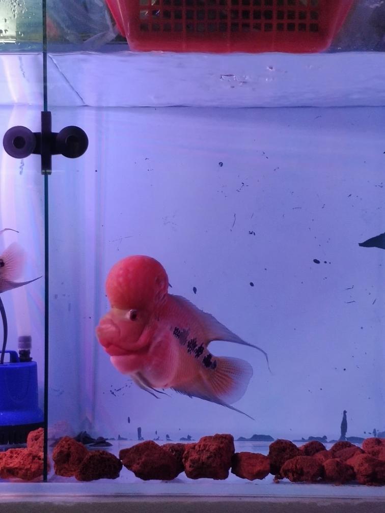 去年八月底买分小鱼精心伺候一年状态美 合肥观赏鱼 合肥龙鱼第5张