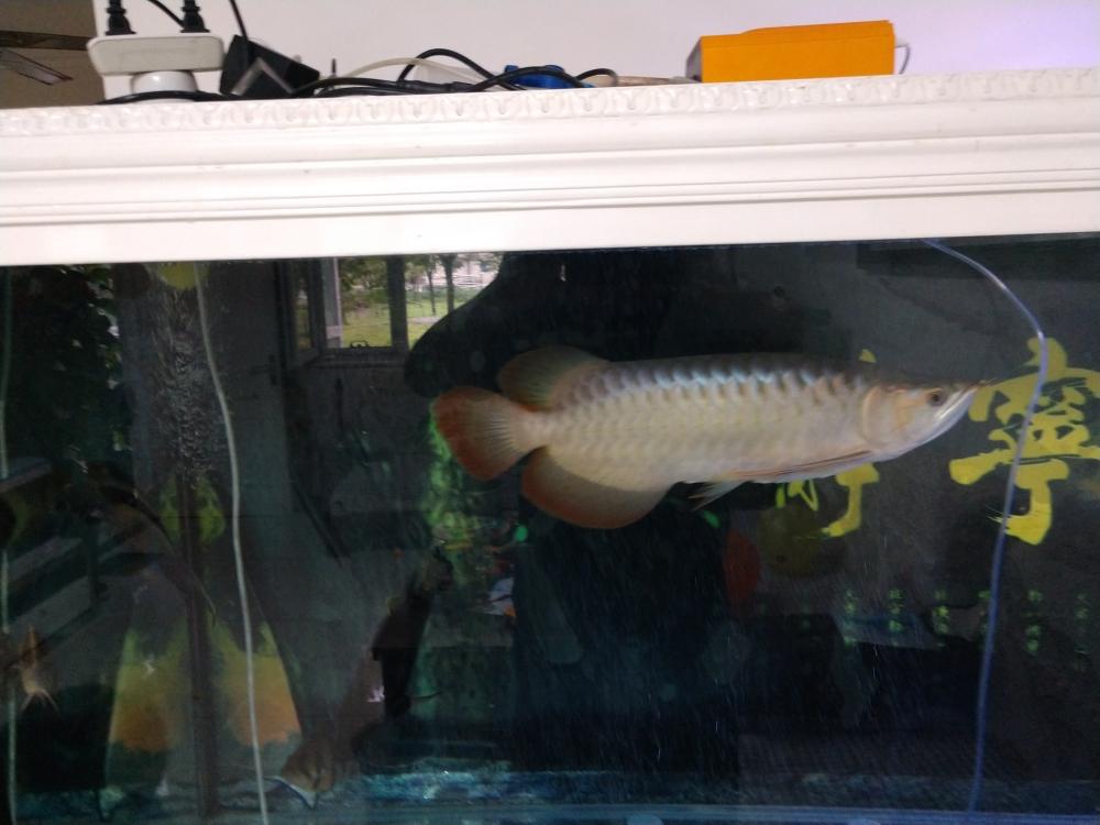 红龙发色问题咨询 西安观赏鱼信息 西安博特第3张