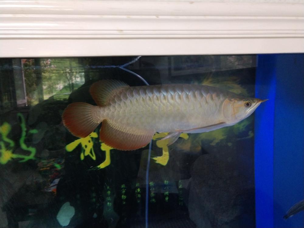 红龙发色问题咨询 西安观赏鱼信息 西安博特第2张