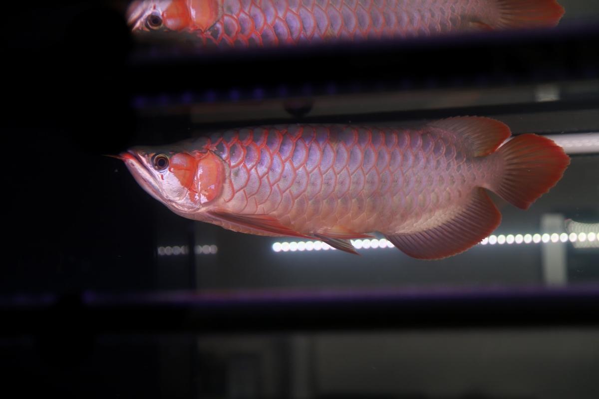 灯的重要性龙鱼 石家庄水族批发市场 石家庄龙鱼第2张