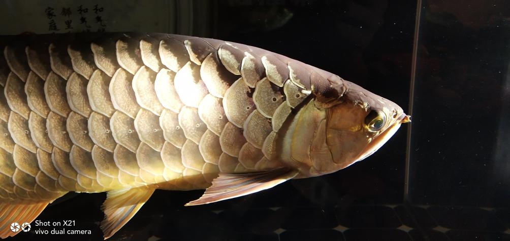 早上晒太阳☀龙鱼 长沙观赏鱼 长沙龙鱼第6张