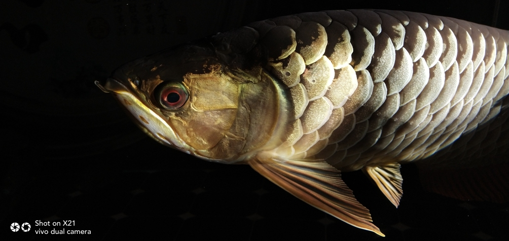 早上晒太阳☀龙鱼 长沙观赏鱼 长沙龙鱼第5张
