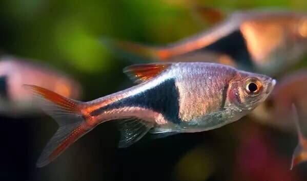 草缸鱼类的选择 重庆观赏鱼 重庆水族批发市场第8张