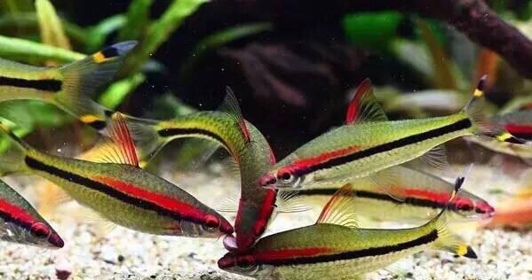 草缸鱼类的选择 重庆观赏鱼 重庆水族批发市场第14张