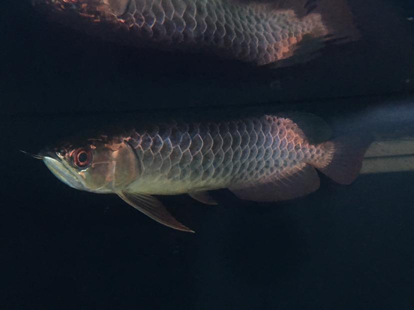 天津漁友秒殺 细框蓝底过背过背 长沙龙鱼论坛 长沙龙鱼第4张