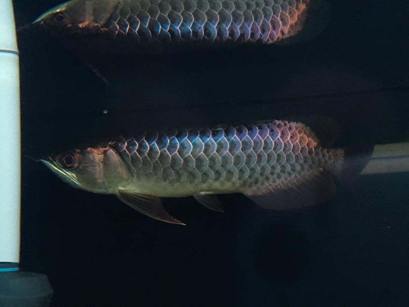 天津漁友秒殺 细框蓝底过背过背 长沙龙鱼论坛 长沙龙鱼第2张