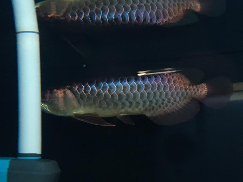 天津漁友秒殺 细框蓝底过背过背 长沙龙鱼论坛 长沙龙鱼第3张