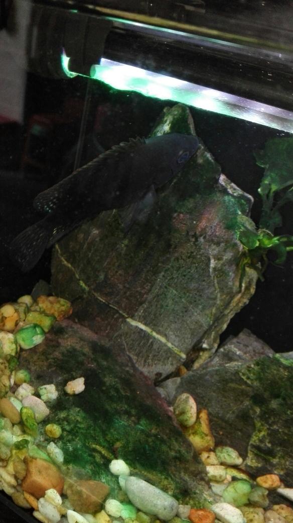 非洲进口 挖过煤的 罗 武汉水族批发市场 武汉龙鱼第1张