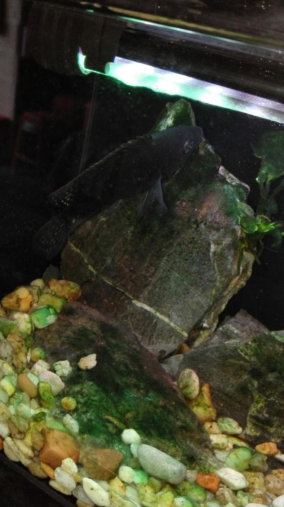 非洲进口 挖过煤的 罗 武汉水族批发市场 武汉龙鱼第2张