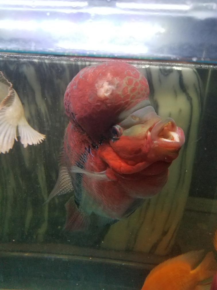 拜托了罗汉鱼 长沙龙鱼论坛 长沙龙鱼第2张