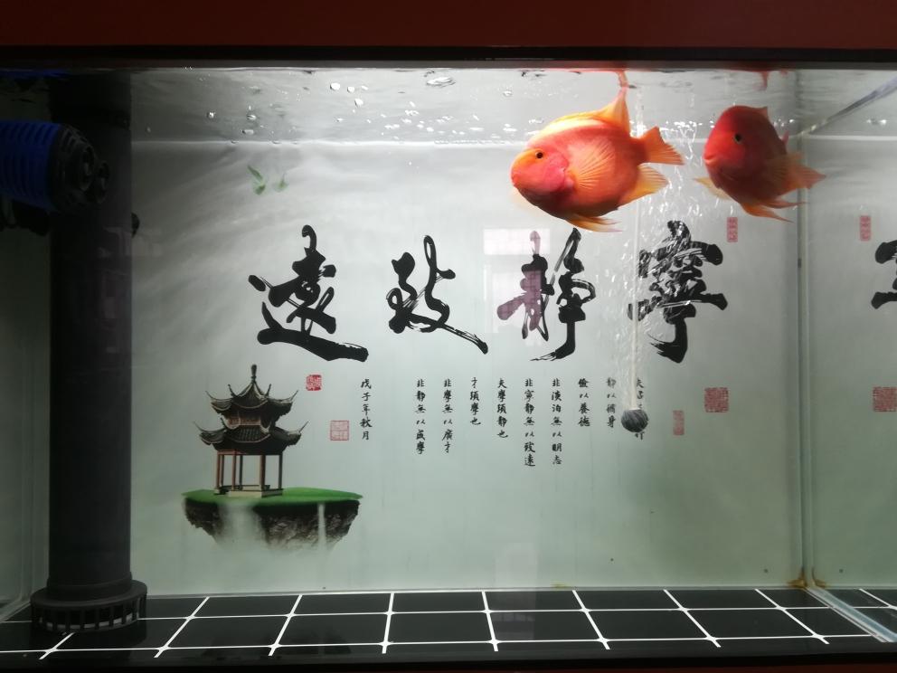 潜水石家庄花卉市场很久了冒个泡 石家庄龙鱼论坛 石家庄龙鱼第2张