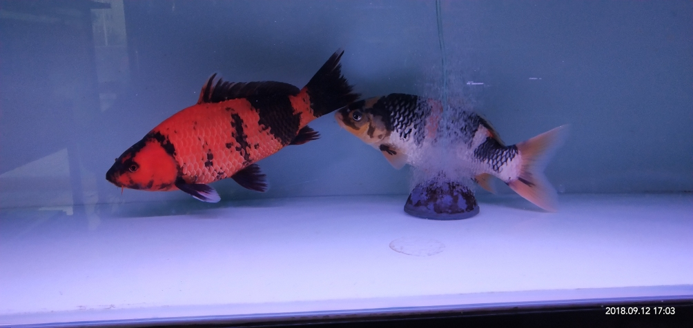 忙了半年没再添新鱼是时候给你俩找伙伴了 济南观赏鱼 济南龙鱼第2张
