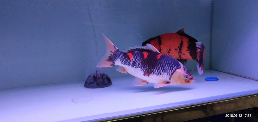 忙了半年没再添新鱼是时候给你俩找伙伴了 济南观赏鱼 济南龙鱼第5张