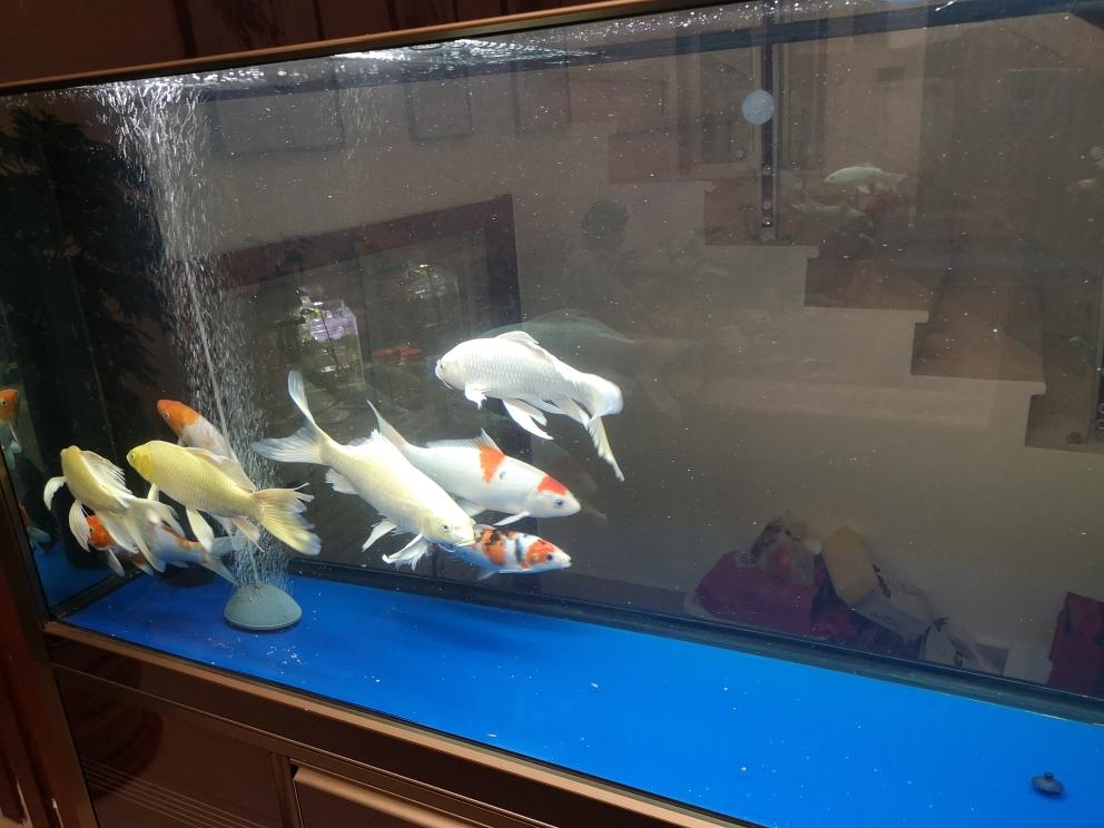 一群猪山东鱼友圈 济南观赏鱼 济南龙鱼第2张