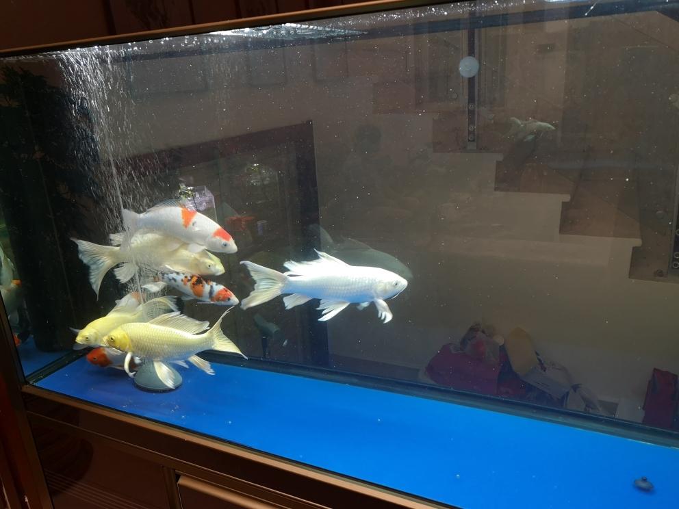 一群猪山东鱼友圈 济南观赏鱼 济南龙鱼第3张