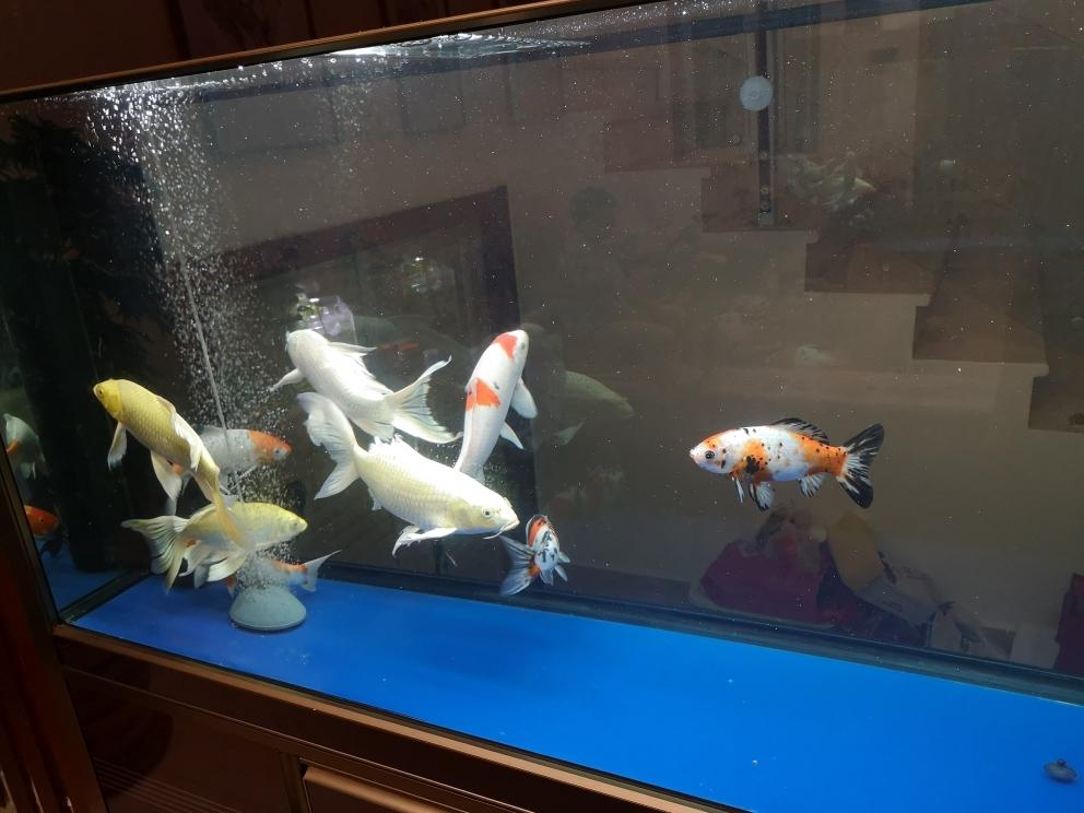 一群猪山东鱼友圈 济南观赏鱼 济南龙鱼第1张