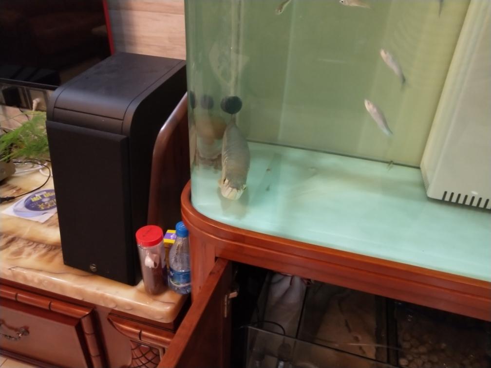 龙鱼爬缸底怎么办 长沙观赏鱼 长沙龙鱼第1张