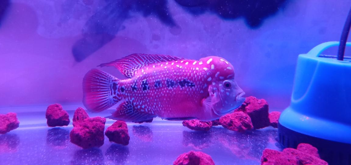 西安哪个水族店卖白化大白来组靓照罗汉鱼 西安观赏鱼信息 西安博特第7张