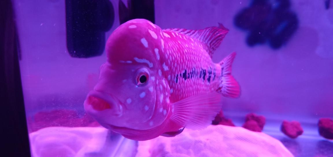 西安哪个水族店卖白化大白来组靓照罗汉鱼 西安观赏鱼信息 西安博特第1张