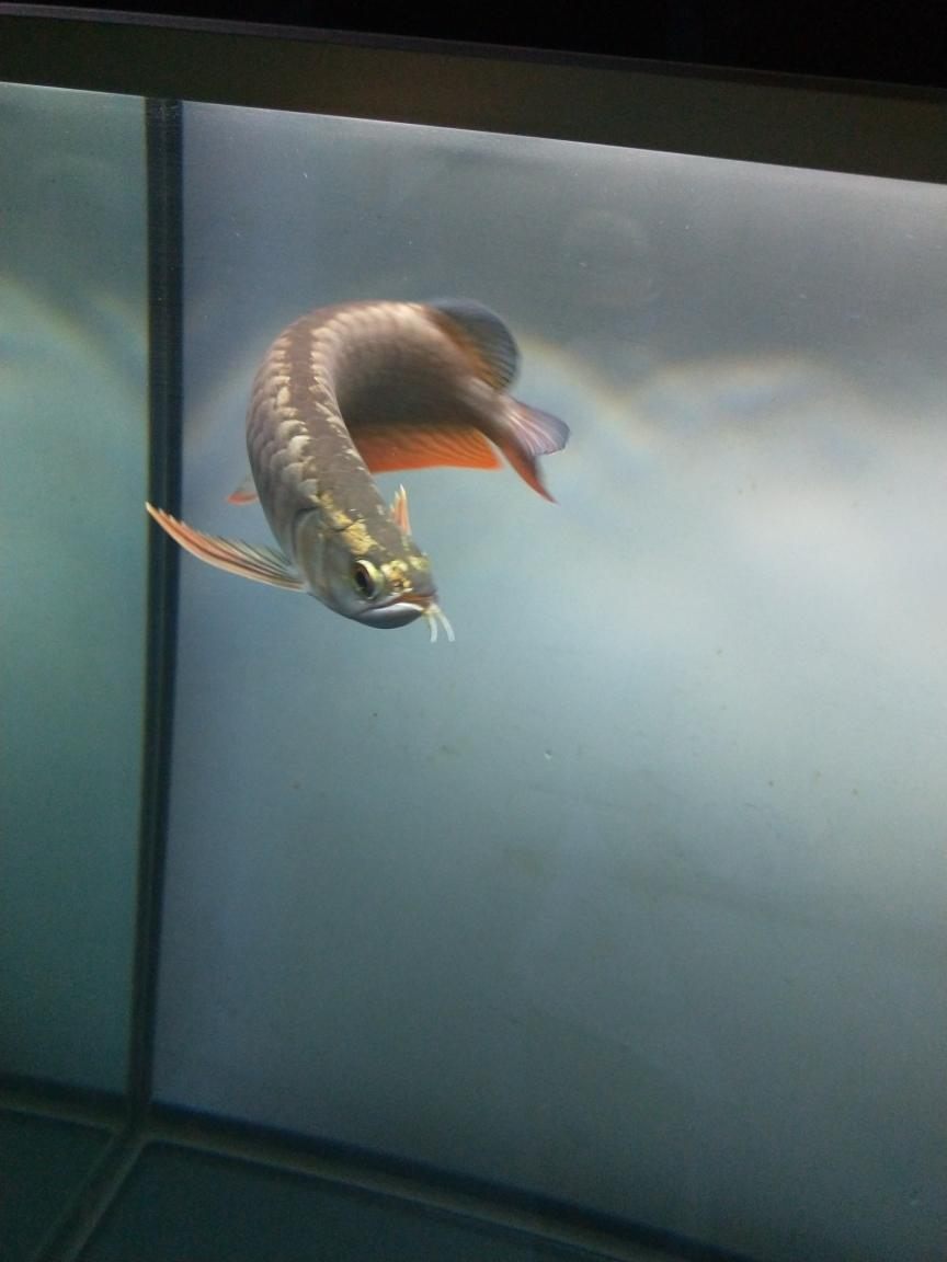到家十天上传一波美照南京白子银板鱼 南京龙鱼论坛 南京龙鱼第3张