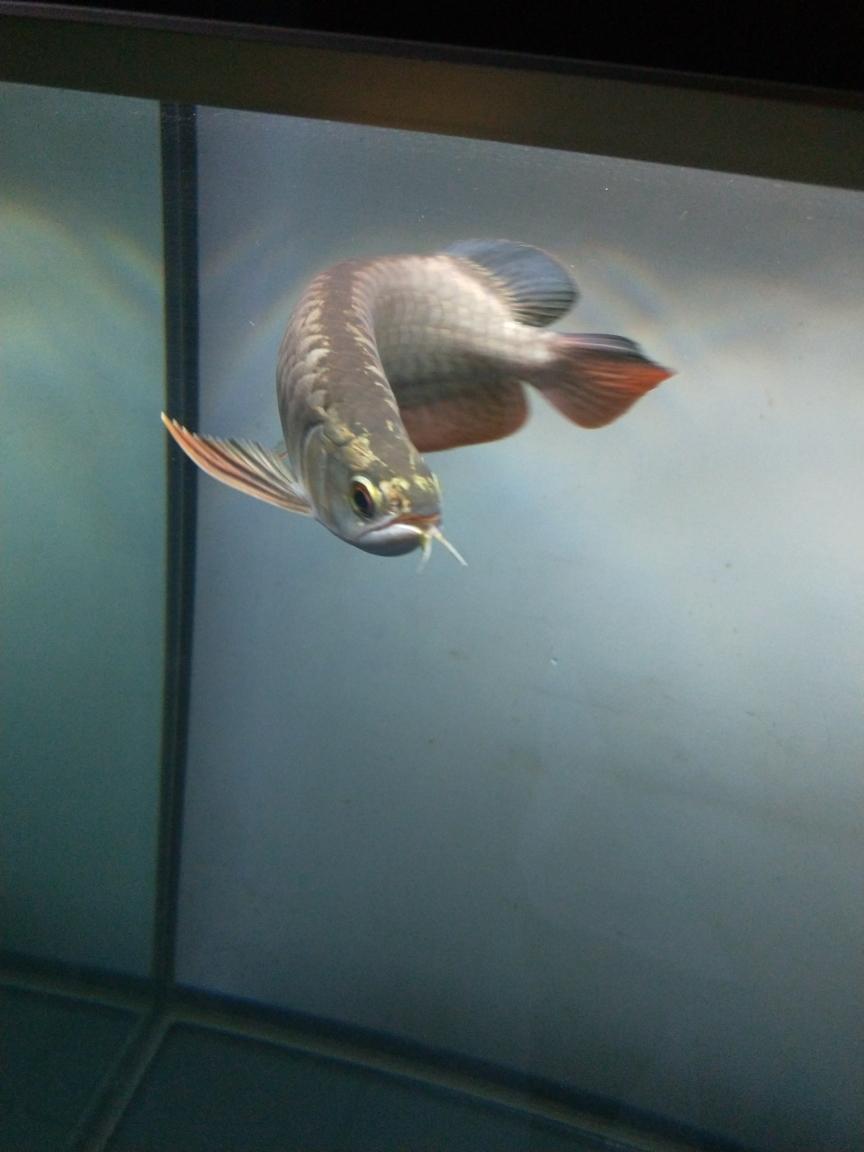 到家十天上传一波美照南京白子银板鱼 南京龙鱼论坛 南京龙鱼第2张