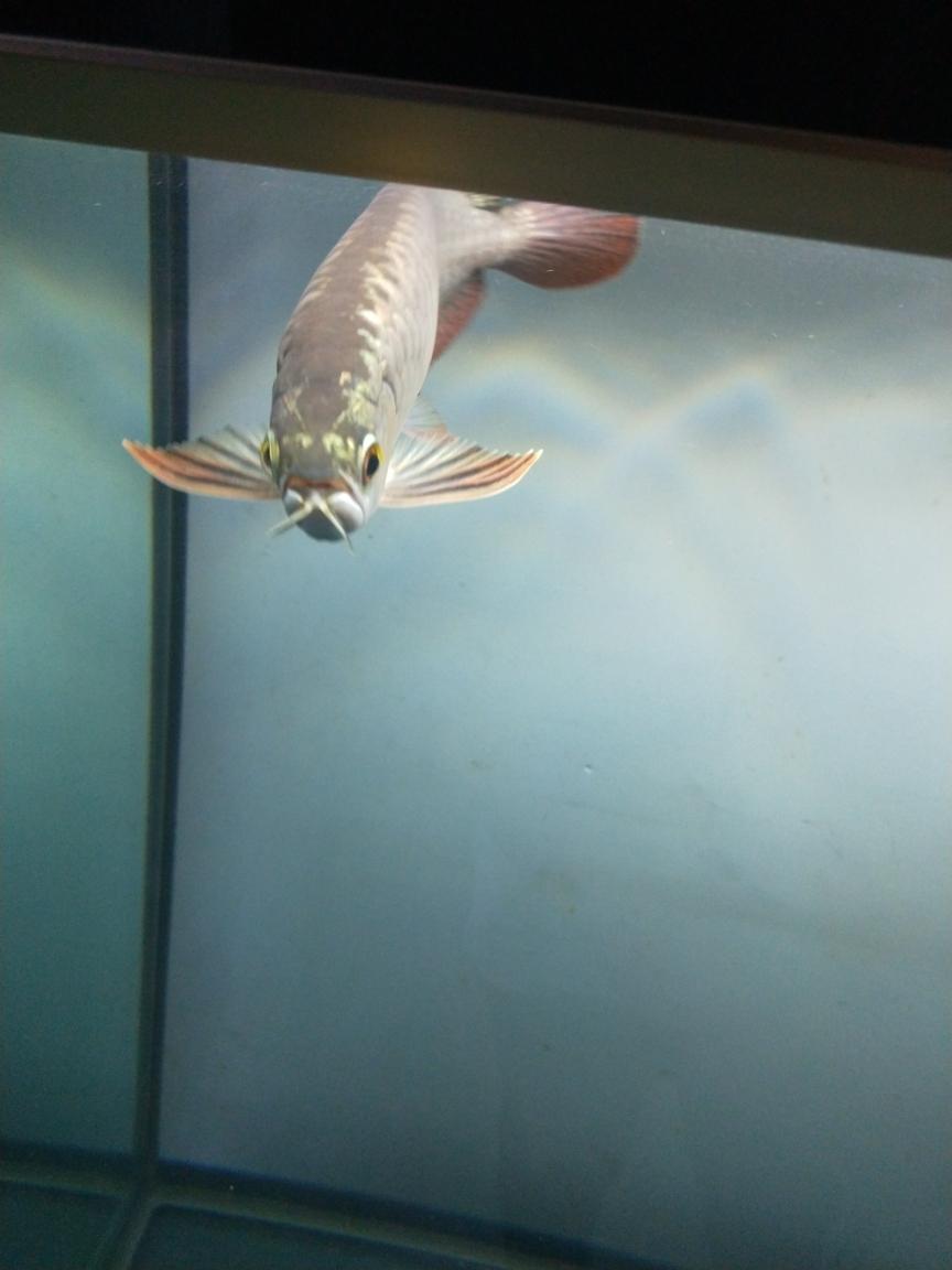 到家十天上传一波美照南京白子银板鱼 南京龙鱼论坛 南京龙鱼第4张
