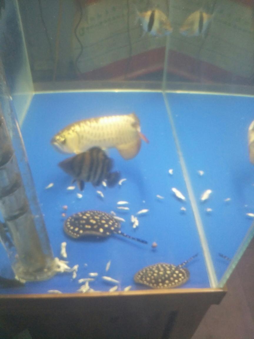 我的最爱一群吃货 太原观赏鱼 太原龙鱼第5张