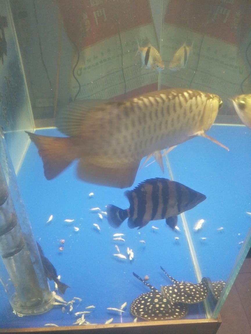 我的最爱一群吃货 太原观赏鱼 太原龙鱼第3张