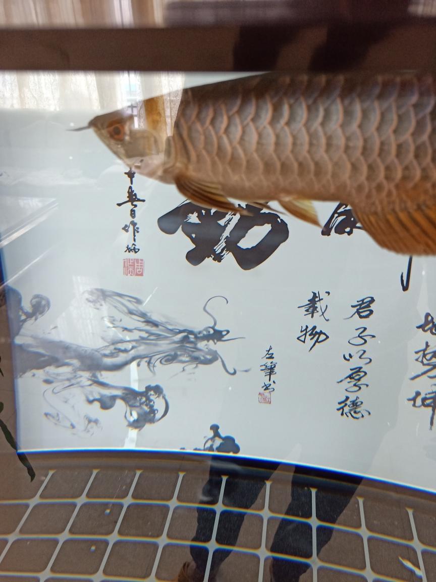 速元宝凤凰的寿命几年宏古典到家两星期 元宝凤凰鱼相关 元宝凤凰鱼第3张