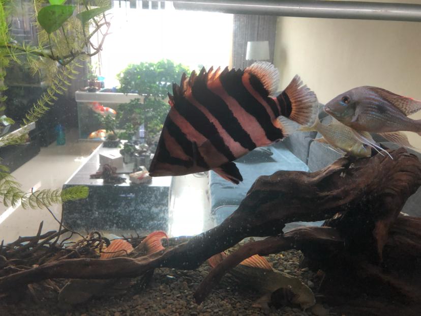 烟台哪个水族店卖白子关刀鱼气吞万里如虎 烟台龙鱼论坛 烟台龙鱼第3张
