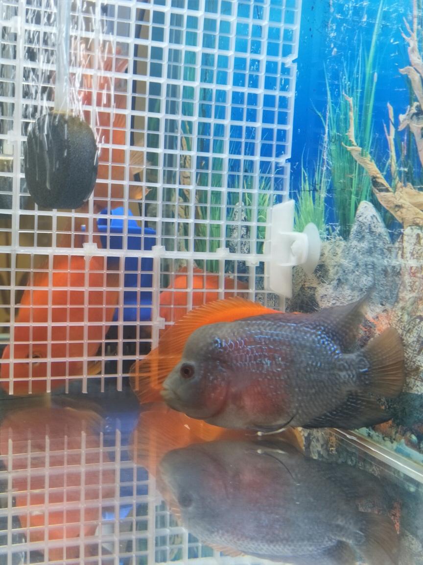 武汉明虎刚买回来的罗汉鱼 武汉水族批发市场 武汉龙鱼第1张