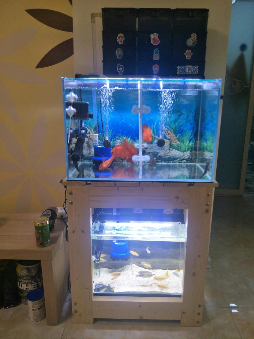 武汉明虎刚买回来的罗汉鱼 武汉水族批发市场 武汉龙鱼第2张