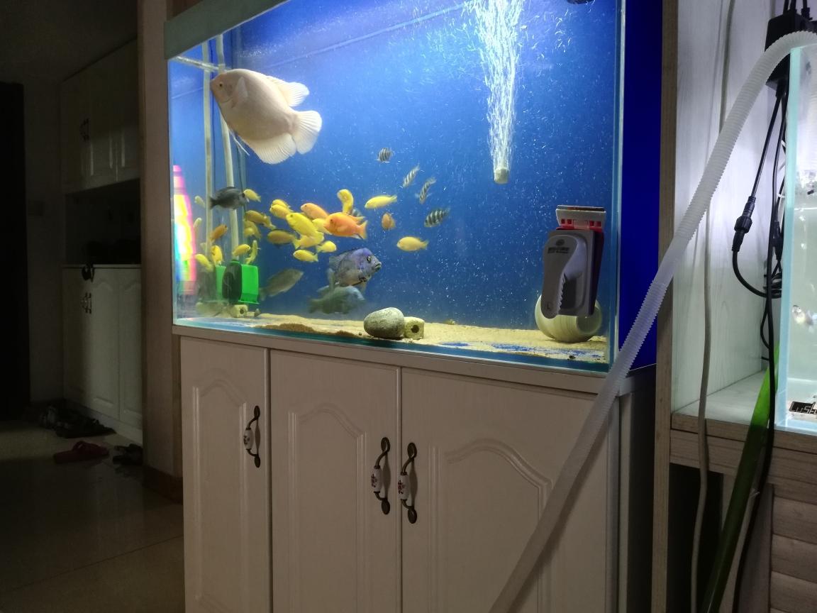 每天幸福一点鹦鹉鱼 杭州水族批发市场 杭州龙鱼第2张