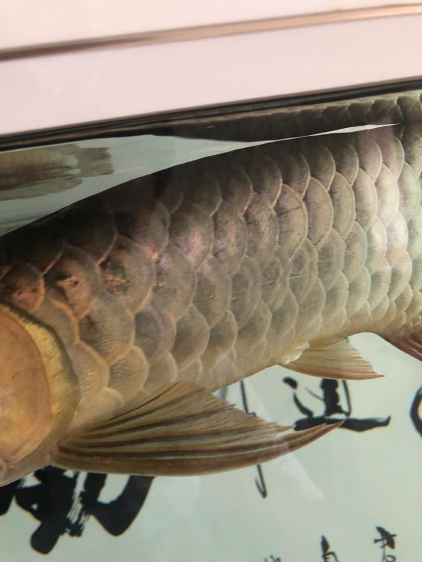 做过手术第二天发现鱼鳞这样了 怎么办 烟台龙鱼论坛 烟台龙鱼第1张
