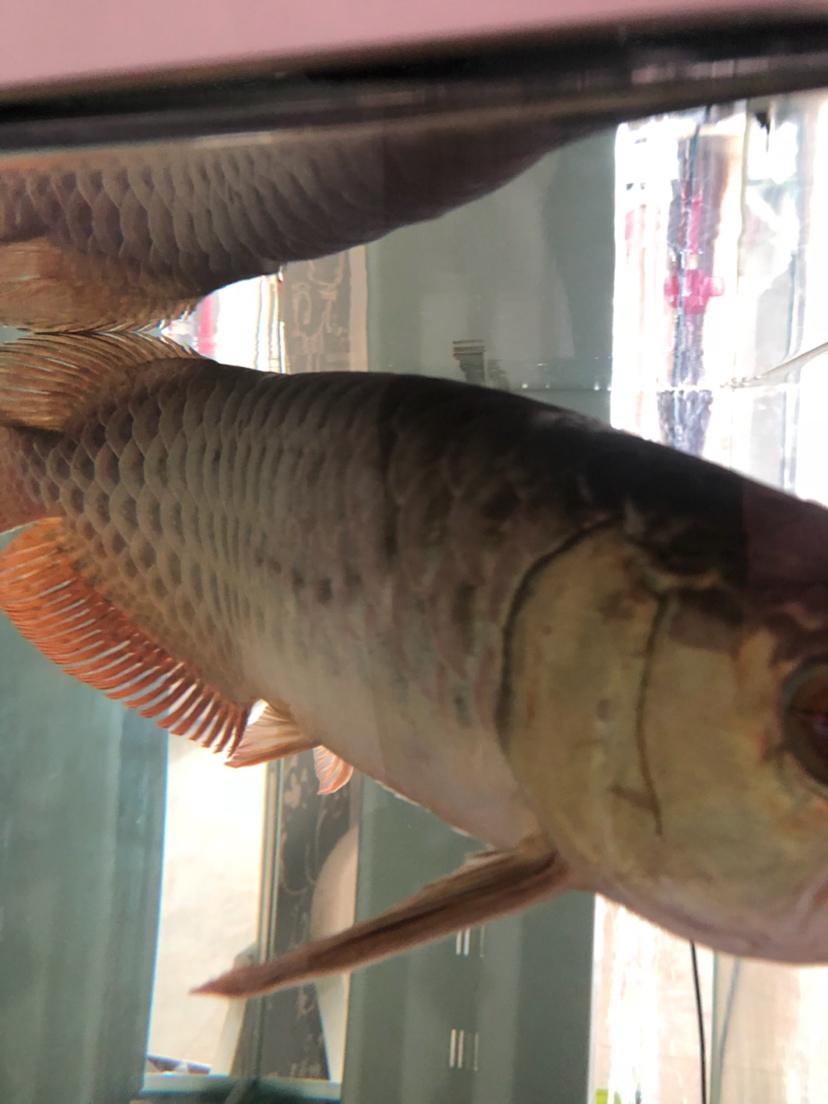 做过手术第二天发现鱼鳞这样了 怎么办 烟台龙鱼论坛 烟台龙鱼第2张